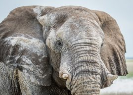 Close up of an Elephant bull in the Etosha National Park, Namibia.