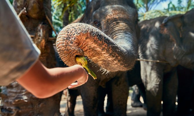 Little boy feeding a banana to a group of Asian elephants at an animal sanctuary in Thailand