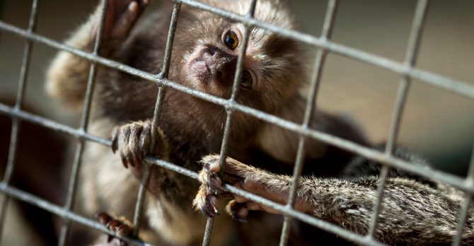 Small monkey in a cage