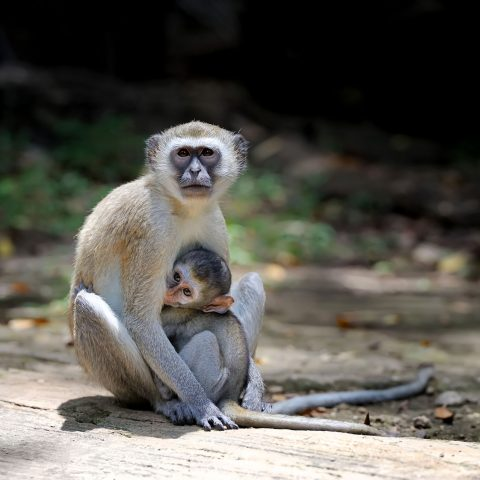 Two young vervet monkey on a stone
