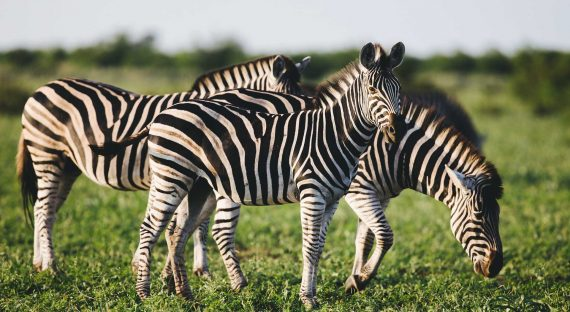Three Common Zebras (Equus quagga) foraging in bushveld savanna of Kruger national park South Africa