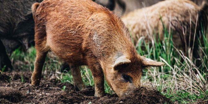 wild-boars-sus-scrofa-animal-family-with-baby-2J53RPM